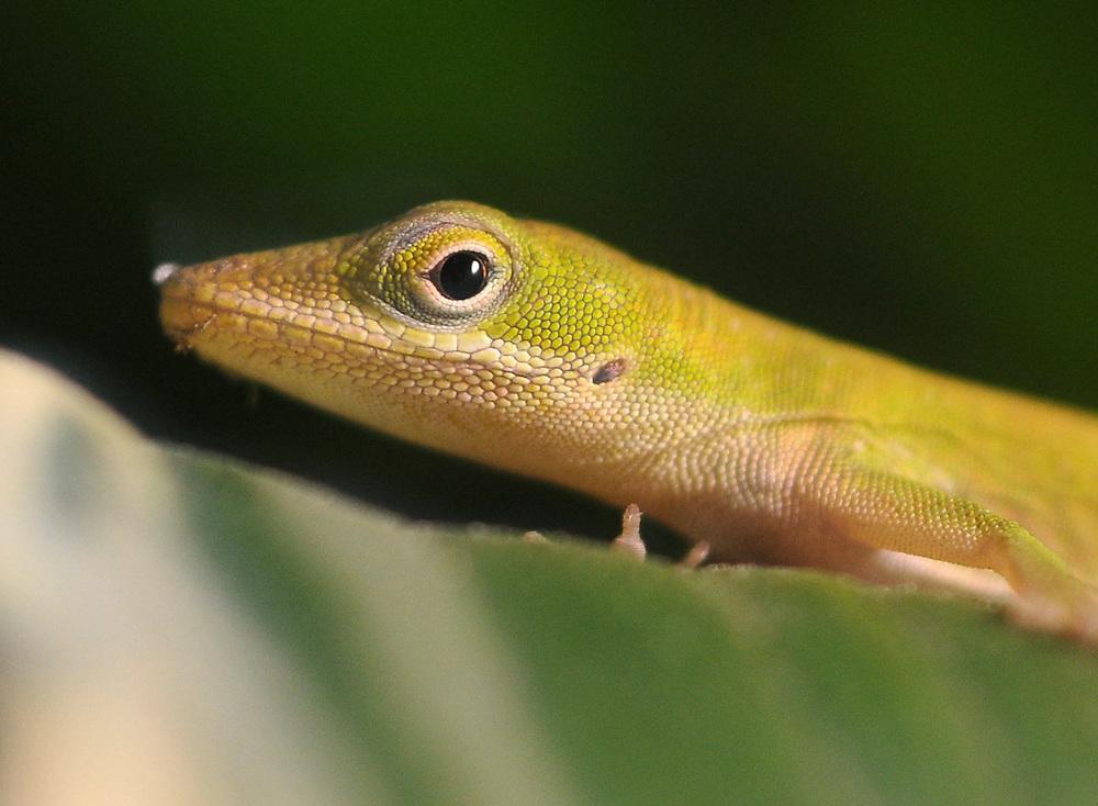 A gecko in San Antonio, Texas