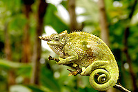 A Fischer's Chameleon rests on a branch in the Usambara Mountains, Tanzania