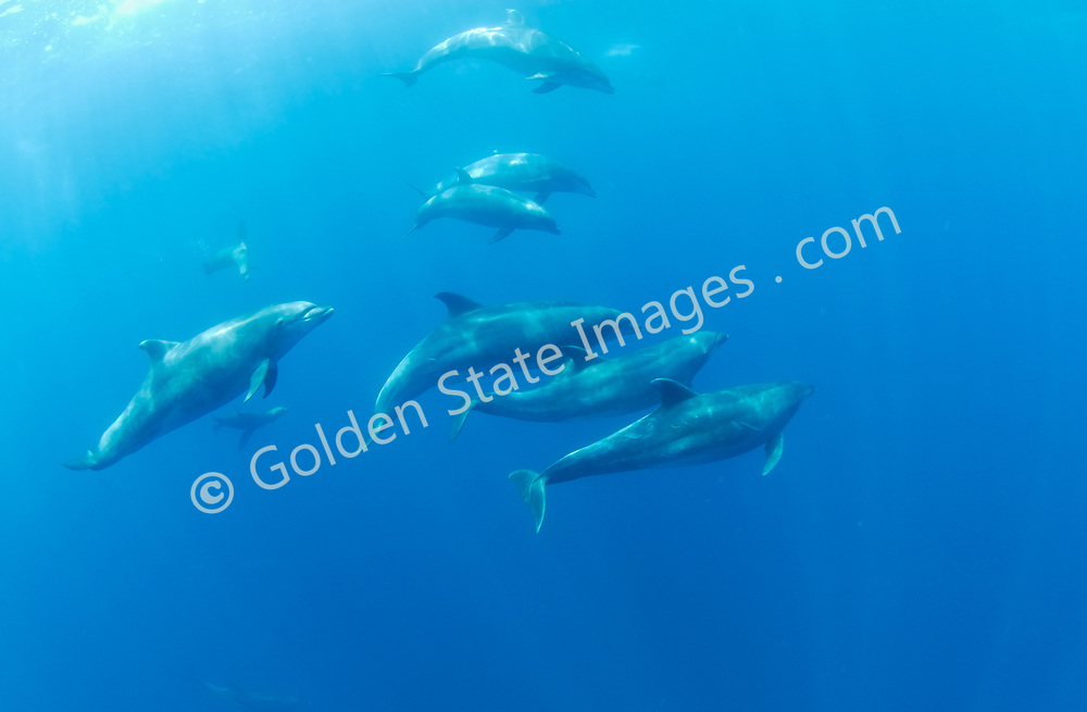 Pacific Bottlenosed Dolphins are known for their natural leaping behaviors and are often used in captive shows at zoos and aquaria. <br /> <br /> In the wild they are often seen inshore even just outside surf breaks along the shoreline. <br /> <br /> Bottlenose are a large dolphin species. Mature animals can reach over ten feet in length with weights exceeding six hundred pounds. <br /> <br /> These photographs are of wild animals in their natural environment.    <br /> <br /> Range: Found worldwide in temporate and tropical oceans. In the Pacific from northern Japan to Australia and S. California to Chile.    <br /> <br /> Species: Tursiops truncatus