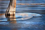 dead tree in frozen lake, Pahranagat National Wildlife Refuge