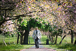 © Licensed to London News Pictures. 17/05/2016. Harrogate UK. A gentleman walks through the Cherry blossom tree's on the Stray in Harrogate today as Yorkshire see's another fine weather day. Photo credit: Andrew McCaren/LNP