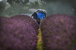 © Licensed to London News Pictures. 09/08/2017. Banstead, UK. A family of visitors to Mayfield Lavender Farm take a selfie under umbrellas as they brave the summer rain. Bands of heavy unseasonal rain are crossing the UK. Photo credit: Peter Macdiarmid/LNP