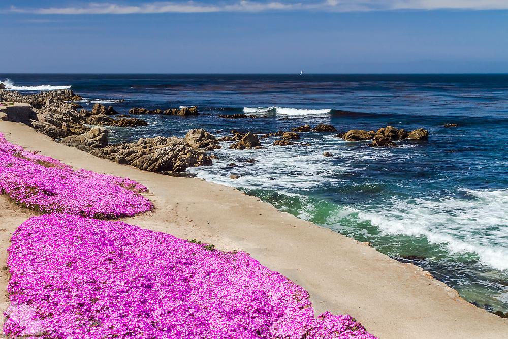 Magic Pink Carpet flowers along the Pacific Grove, California shoreline walking trail.