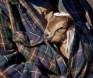 Cornwall, New York- A baby dairy goat peeks out from under a person's shirt at Edgwick Farm on Feb. 4, 2012.