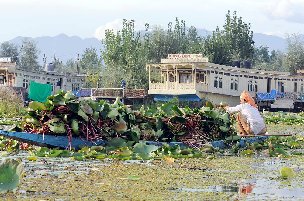 A woman in a small boat collects lotus leaves and stems for fodder on  Dal Lake. Srinagar, Kashmir. India 22Sep11