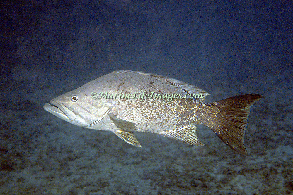 Western Comb Grouper inhabit reefs in southern Caribbean; picture taken Venezuela.