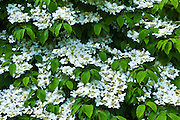 White lacecap hydrangea in a garden in County Cork, Ireland