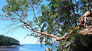 Madrona Tree, Sucia Island, San Juan Islands, Washington State