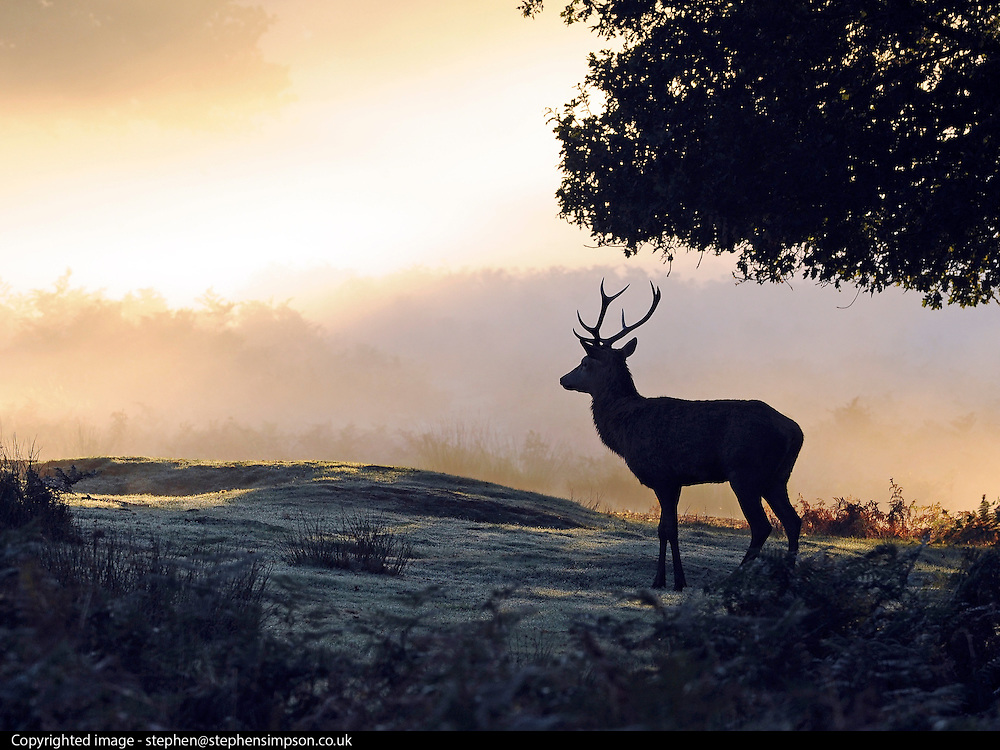 © Licensed to London News Pictures. 15/10/2011. A red red deer stag in the autumnal sunrise. Richmond, UK. Early morning in Richmond Park, Surrey today 15 October 2011. Temperatures are set to fall across the UK in the coming week as Autumn takes hold. Photo: Stephen Simpson/LNP