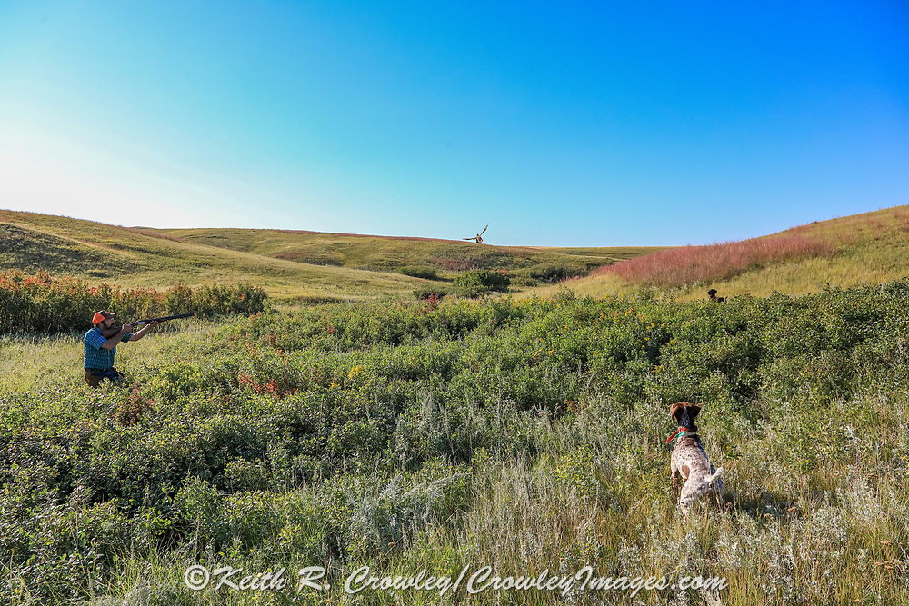 With his GSPs Liza (foreground) and Louie on point, John Zeman takes aim at a rising Hungarian partridge during a Montana horseback bird hunt.