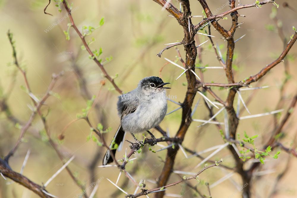 A male Black-tailed Gnatcatcher (Polioptila melanura) singing from a perch in Whitethorn acacia (Vachellia constricta).  Tucson