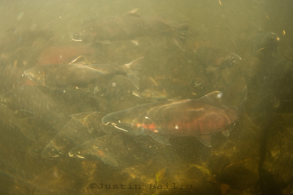 Underwater view of Salmon in Oregon. Salmon feed entire ecosystems when they return to their natal rivers. From animals to humans to insects to streamside vegetation.