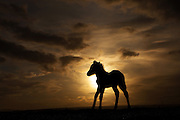 Shadow world. Foal silhouette