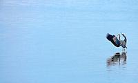 A Great Blue Heron (Ardea herodias fannini) lands in the Hood Canal of Puget Sound, Washington, USA