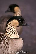 "endemic Hawaiian goose or "" nene "", Nesochen sandvicensis ( endangered ), Hawaii, USA Volcanoes National Park, Big Island of Hawaii, USA, USA"