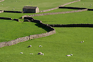 Sheep in fields surrounded by stone barns and walls in Gunnerside, Swaledale in The Yorkshire Dales National Park, UK