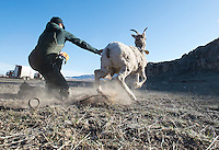 Wyoming Game and Fish biologist Aly Courtemanch releases a bighorn sheep after capturing and collaring the critter Friday on the National Elk Refuge. The operation was part of an ongoing study of various Wyoming bighorn sheep herds.
