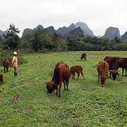 An women prepares looks after her cattle on Cat Ba Island, the largest island in Ha Long Bay, Vietnam. The bay consists of a dense cluster of 1,969 limestone monolithic islands. Ha Long Bay, is a UNESCO World Heritage Site, and a popular tourist destination. Ha Long, Bay, Vietnam. 11th March 2012. Photo Tim Clayton