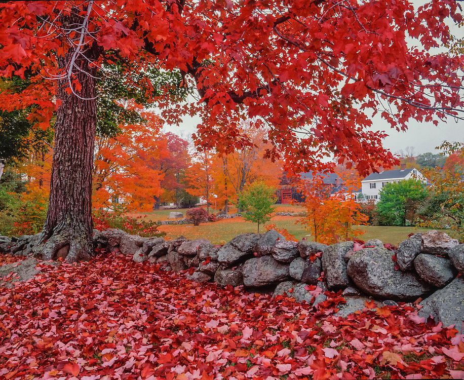 Red maple and stone wall, bright red leaves on branches on ground, distant farmhouse, Hillsborough Center, NH