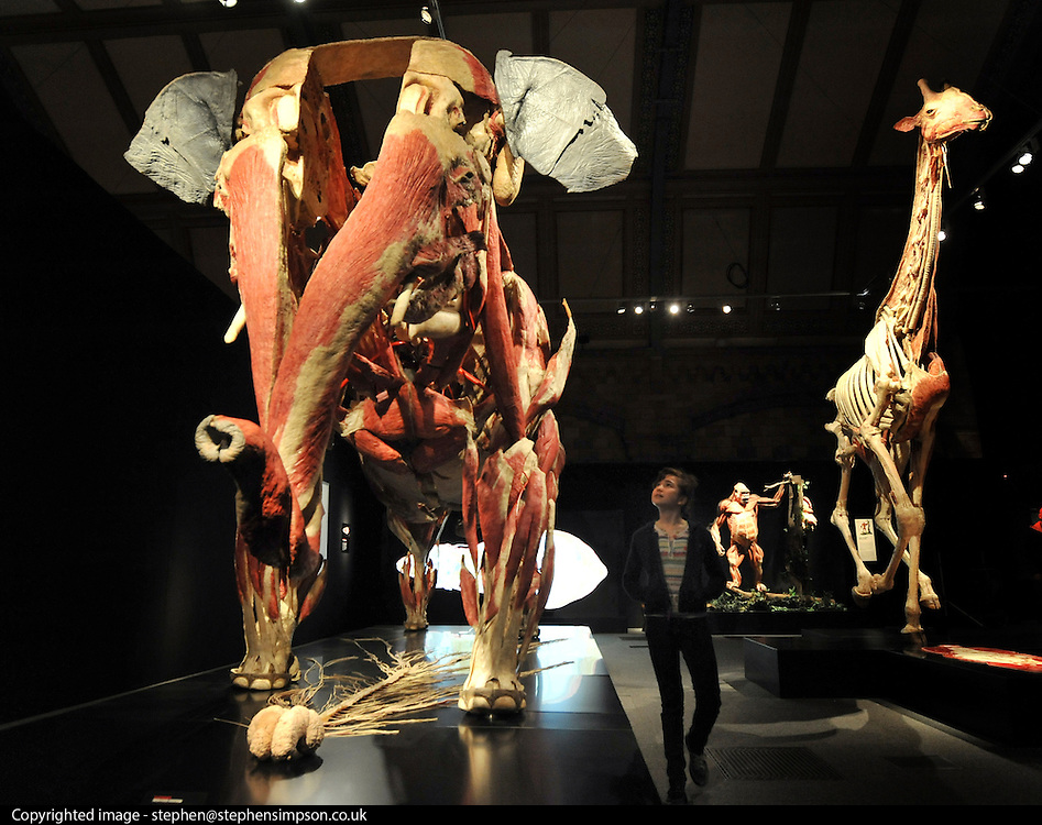 © Licensed to London News Pictures. 03/04/2012. London, UK. Anna Rain looks at the elephant exhibit. The intricate biology and physiology of animals can be explored after the process of Plastination at a new exhibition. The launch of The Natural History Museum's Animal Inside Out exhibition. The exhibition is the UK premiere from the team behind Gunther von Hagens' Body Worlds shows, with almost 100 specimens on show. Animal Inside Out runs from April 6 April to September 16 at the Natural History Museum, London. Photo credit : Stephen SImpson/LNP