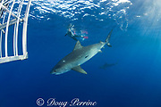 tiger shark ( Galeocerdo cuvier ), shark cage, and photographer, North Shore, Oahu, Hawaii, USA ( Central Pacific Ocean ) MR 389