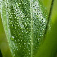 Raindrops on Ti plant Hana Maui