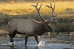 Bull Elk, Madison river, Yellowstone National Park