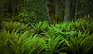 sword fern understory in the forest