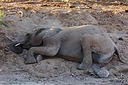 A desert elephant (Loxodonta africana cyclotis) resting and laying down on a sandy slope, Skeleton Coast, Namibia
