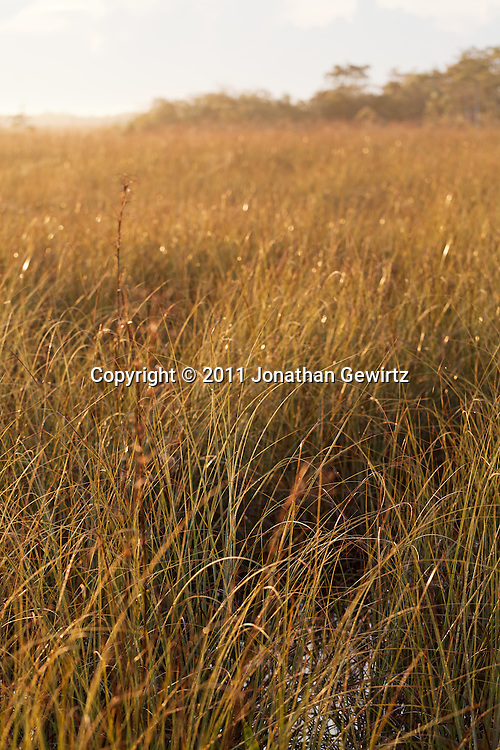 """Sawgrass marsh in the Florida Everglades """"River of Grass"""" in morning sunlight. WATERMARKS WILL NOT APPEAR ON PRINTS OR LICENSED IMAGES."""