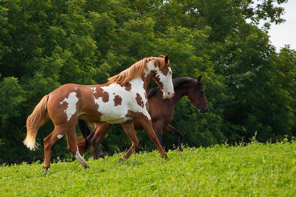 Paint Arabian horse running in grassy pasture