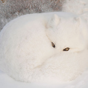Arctic faox (Vulpes lagopus) curled up in the snow. Churchill, Manitoba, Canada