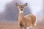 White-tailed Deer, Bitterroot Valley, Montana.