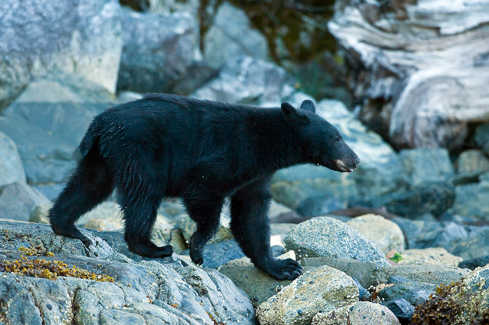 Black Bear, Ursus americanus vancouveri, searching for food at low tide along the beach in Clayoquot Sound, a UNESCO World Biosphere Reserve located near Tofino in the western coast of Vancouver Island, Bristish Columbia, Canada.