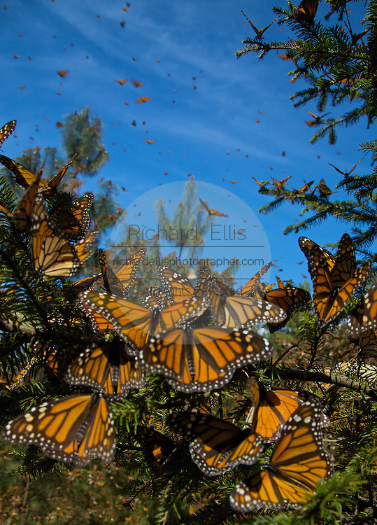 Monarch Butterflies mass in the Sierra Pellon mountain at the Monarch Butterfly Biosphere Reserve in Sierra Pellon central Mexico in Michoacan State. Each year hundreds of millions Monarch butterflies mass migrate from the U.S. and Canada to Oyamel fir forests in the volcanic highlands of central Mexico. North American monarchs are the only butterflies that make such a massive journey—up to 3,000 miles (4,828 kilometers).