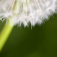 macro of part of a dandelion with water drop and green background