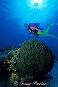 diver and star coral, Montastrea annularis, <br /> Cozumel, Mexico ( Caribbean Sea )<br /> MR 140 - MR 142