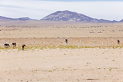 Group of feral horses on Namib desert, Namibia, Africa