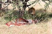 Kenya, Masai Mara, Lion resting next to a half eaten zebra carcass