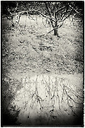 Puddle reflections in the orchard at Cotehele