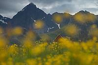 Red barn in field of summer wildflowers, Flakstadøy, Lofoten Islands, Norway