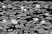 Flowers and leaves of white water lilies (Nymphaea odorata)<br /> Algonquin Provincial Park<br /> Ontario<br /> Canada