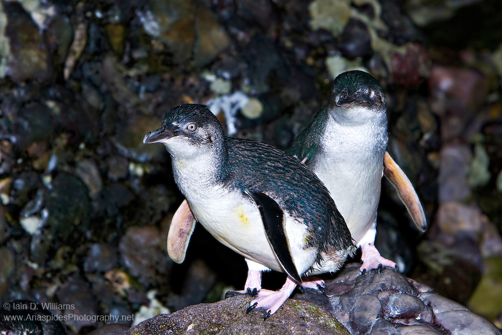 Little Penguin (Eudyptula minor) - Tasmania