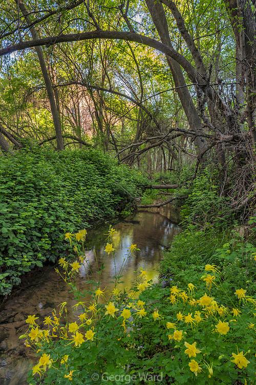 Golden Columbine and Stream, Sycamore Canyon Wilderness, Coconino National Forest, Yavapai County, Arizona
