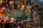 Pacific Beakfish (Oplegnathus insignis)<br /> GALAPAGOS ISLANDS,<br /> Ecuador, South America