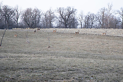 White tailed deer (Odocoileus virginianus) gather at the edge of an unplowed field to find food in late winter near dusk in McLean County IL