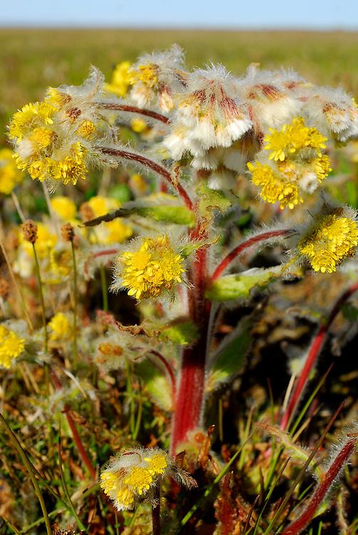 Barrow, Alaska. Tundra flowers during summer