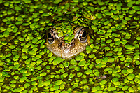 Frog in the Garden Pond