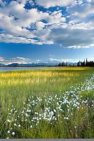 Tufts of cotton grass (Eriophorum angustifolium) growing along small lake in Wrangell-St. Elias National Park Alaska