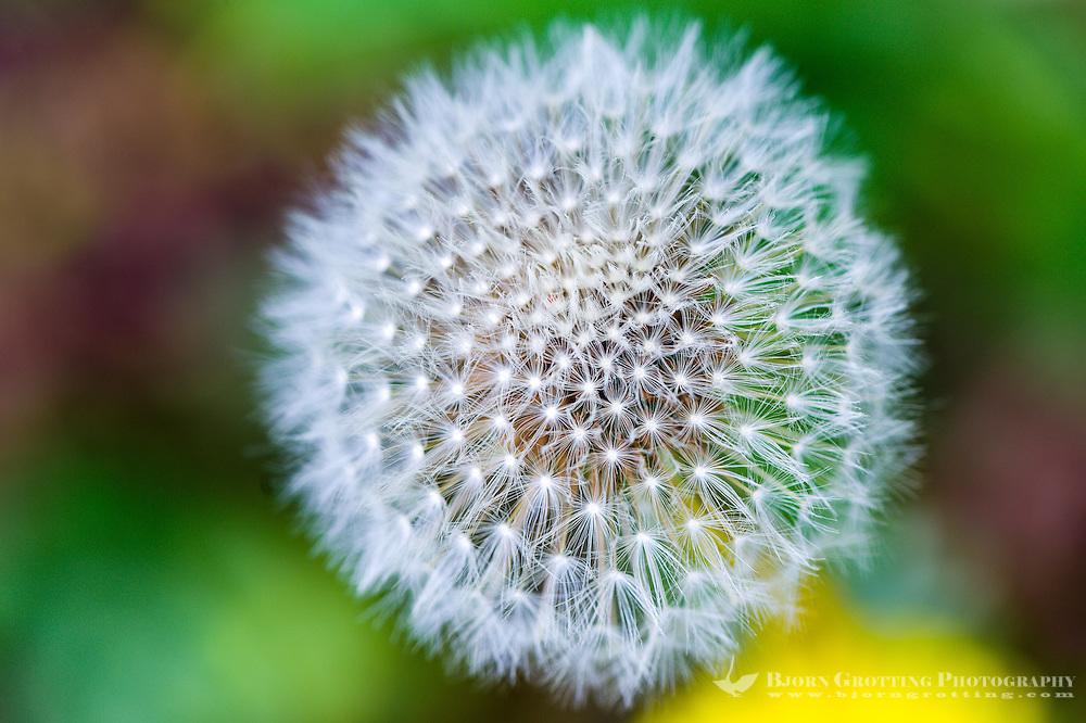 Norway, Stavanger. Dandelion seeds.